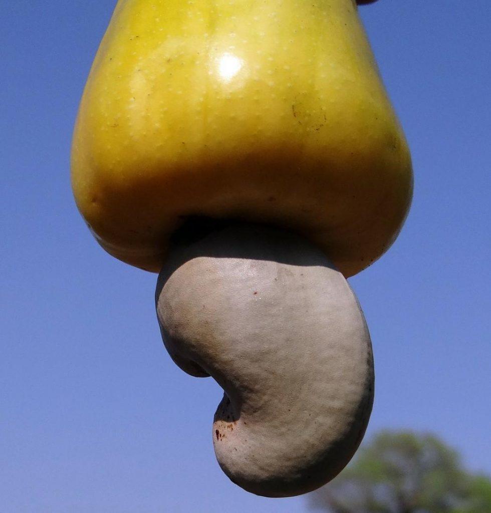 kaju elması