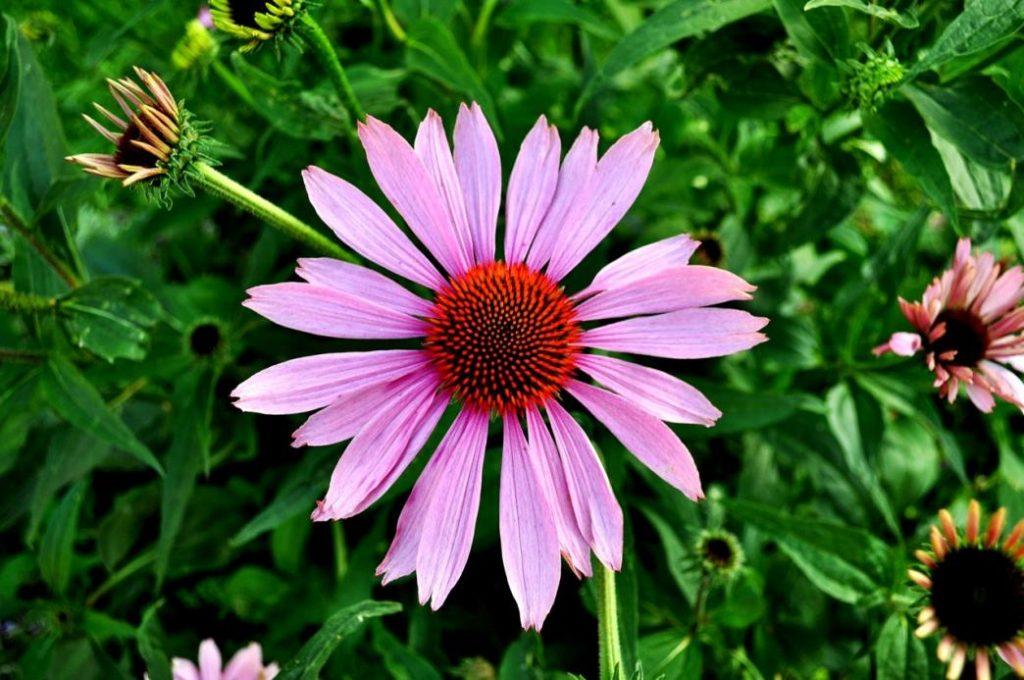 immun sistemini güçlendiren bitkilerden ekinezyayı çay olarak içebilirsiniz
