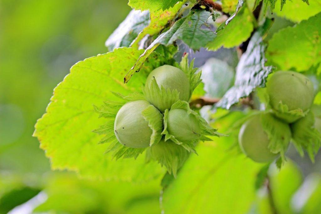 sonbaharda hangi meyveler yenir: taze fındık